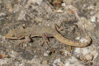 Mediodactylus kotschyi skopjensis, Matka