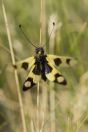 Libelloides sp., Tomorr
