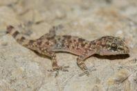 Hemidactylus turcicus, Vlorë