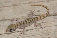 Mediodactylus walli, Chitral