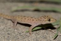 Hemidactylus cf. brookii, Chitral