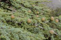 Cedrus deodara, Národní Park Chitral Gol