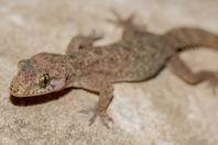Hemidactylus cf. brookii, Paras