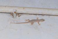Hemidactylus flaviviridis, Thal