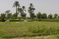 Rýžová pole, Thal