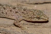 Hemidactylus sp., Thal