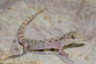 Hemidactylus cf. brookii, Kallar Kahar