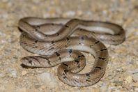 Oligodon sp., Kalar Kahar