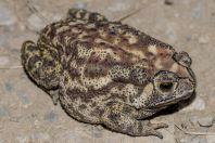 Duttaphrynus melanostictus, Margalla Hills