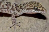 Cyrtodactylus dattanensis, Datta