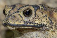 Duttaphrynus melanostictus hazarensis, Datta