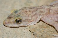 Cyrtodactylus battalensis, Battagram