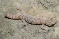 Cyrtodactylus battalensis, Battagram