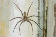 Spider, Battagram