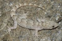 Mediodactylus sp., Battagram