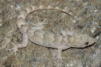 Mediodactylus sp., Battagram