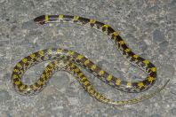 Lycodon striatus, Chattar