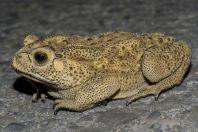 Duttaphrynus melanosticus, Chattar
