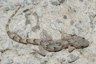 Mediodactylus sp., Bagrian