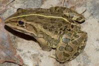 Hoplobatrachus tigerinus, Oghi