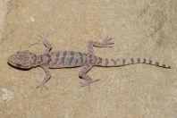 Cyrtodactylus cf. battalensis, Oghi