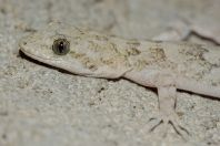 Mediodactylus sp., Oghi