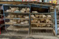 Sales of chickens, Karora