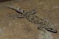 Mediodactylus brachykolon, Marhazar