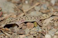 Hemidactylus brookii comlex, Odigram, Swat