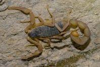 Scorpio, Shah Alam Baba