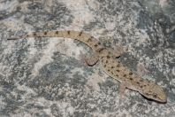 Hemidactylus brookii komplex, Shah Alam Baba