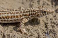 Acanthodactylus cf. cantoris, Ghoriwala, Kurram River