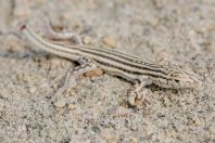 Acanthodactylus sp., Wanda Karim Khan