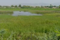 Lissemys punctata - habitat, Dawood Khel