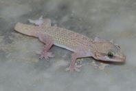 Hemidactylus cf. persicus, Jungrai, Manglot