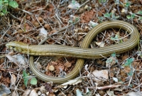 Pseudopus apodus, Starigrad - Paklenica