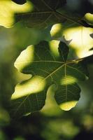 Fig tree, NP Mala Paklenica