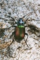 Calosoma sycophanta, Velika Paklenica