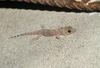 Hemidactylus turcicus, Parga