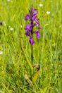 Orchidaceae, Băniţa
