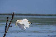 Bubulcus ibis, Dunajská delta