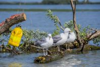 Larus cachinnans, Dunajská delta