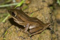 Polypedates leucomystax, Santubong NP