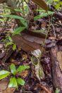 Nepenthes sp., NP Santubong