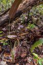 Nepenthes sp., Santubong NP