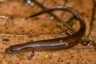Tytthoscincus sp., Santubong NP