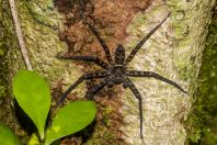 Sparassidae, Santubong NP