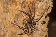 Sparassidae, NP Santubong