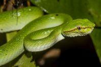 Tropidolaemus subannulatus, NP Santubong