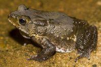 Duttaphrynus melanosticus, NP Santubong